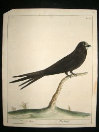 Albin: 1730's Hand Colored Bird Print. Hirundo Apus, Swift